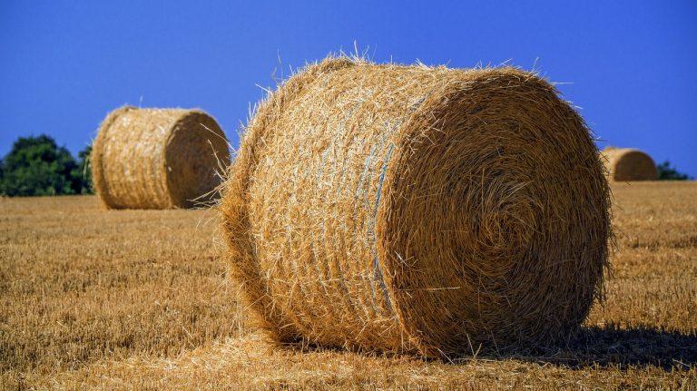 Czy opryski uchronią nas przed chwastami zbóż ozimych?
