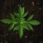Czym są automatycznie kwitnące nasiona konopi?